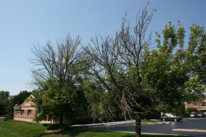 Ash Tree infected with EAB
