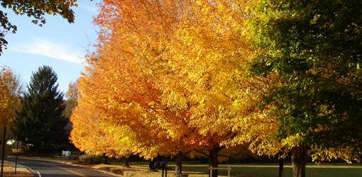 five-must-have-fall-trees-1